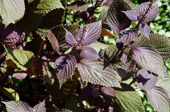 растение с красивыми листьями