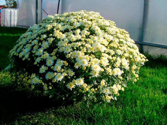 куст хризантемы