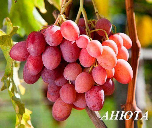 виноградное вино дома