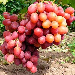 виноградорство
