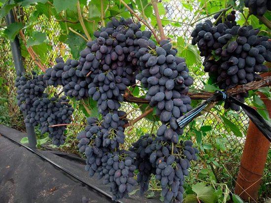 отзывы о винограде