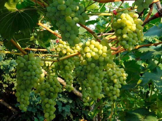 болезни виноградной лозы