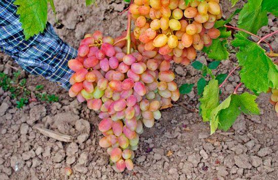 выращивания винограда