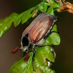 чем вреден майский жук