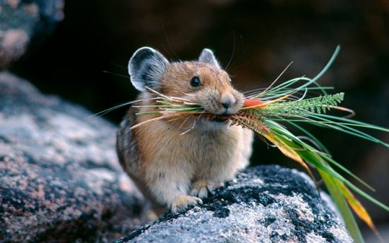 чем опасны мыши полевки