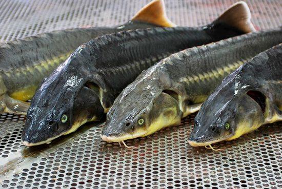 как выращивать рыбу