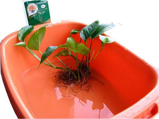 корневин для комнатных растений