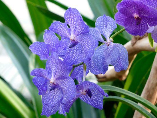 разновидность орхидеи
