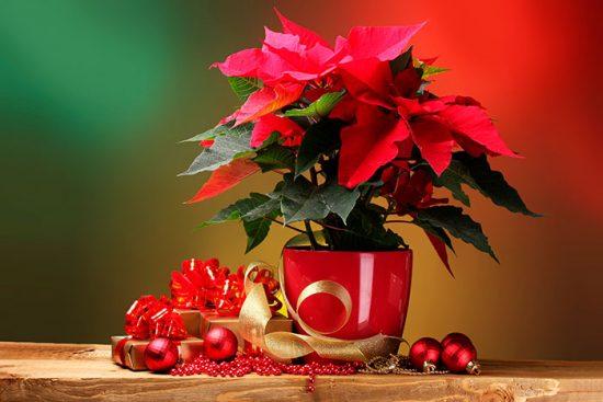 цветок который дарят на рождество