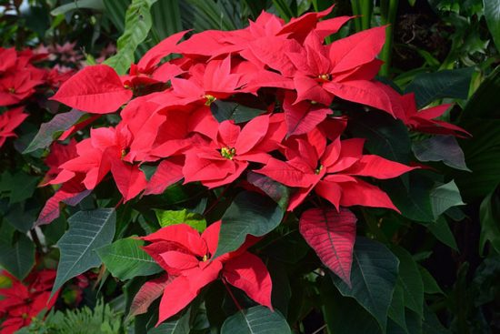 как выращивать рождественскую звезду
