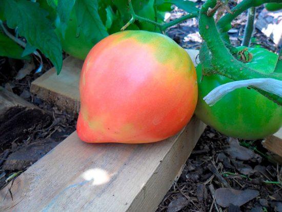 помидоры с крупными плодами