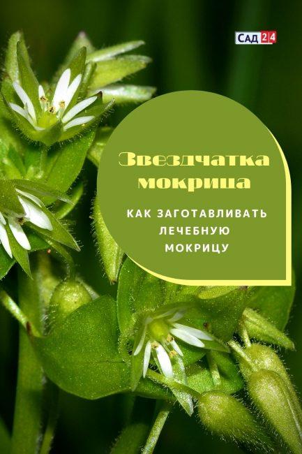 Звездчатка-мокрица – лекарственная трава