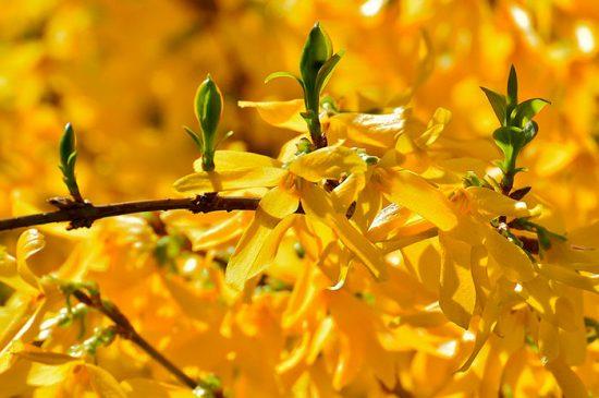 форзиция с желтыми цветами