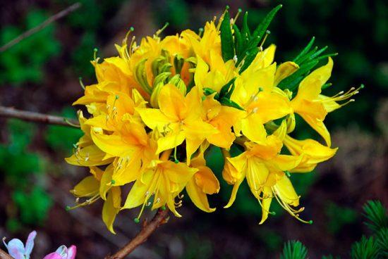 Желтый рододендрон