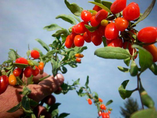 плоды дерезы
