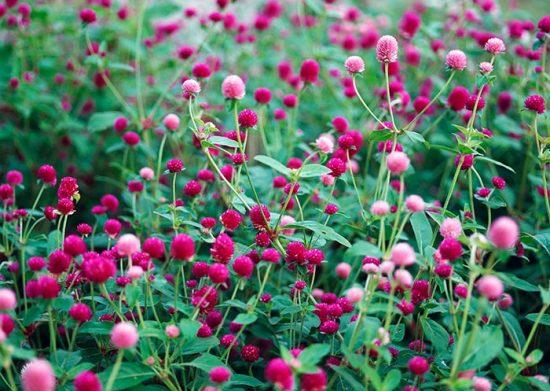 цветение гомфрены
