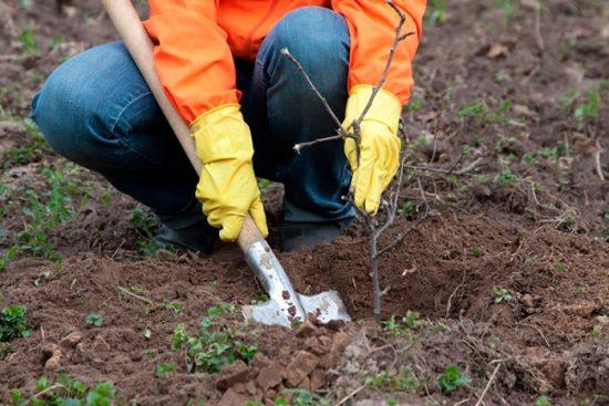 как посадить кустарник