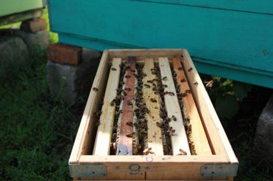 советы начинающему пчеловоду