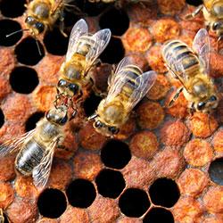 как поймать пчел