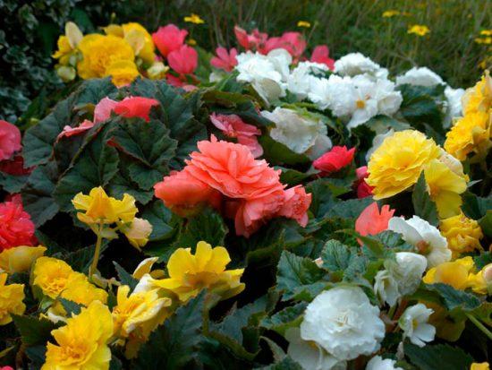 невысокие цветы для клумбы