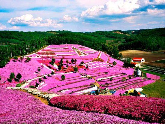 цветение флоксов