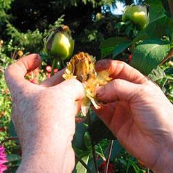 семена георгин