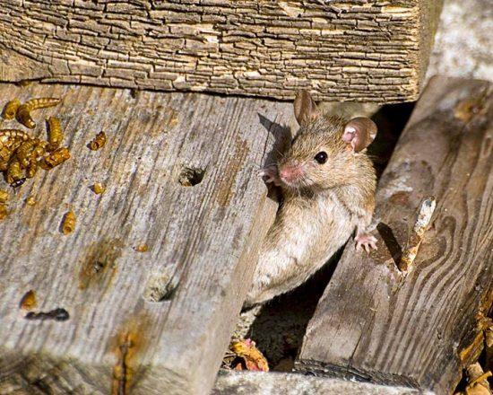 борьба с крысами на даче
