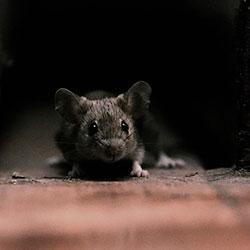 как избавиться от мышей