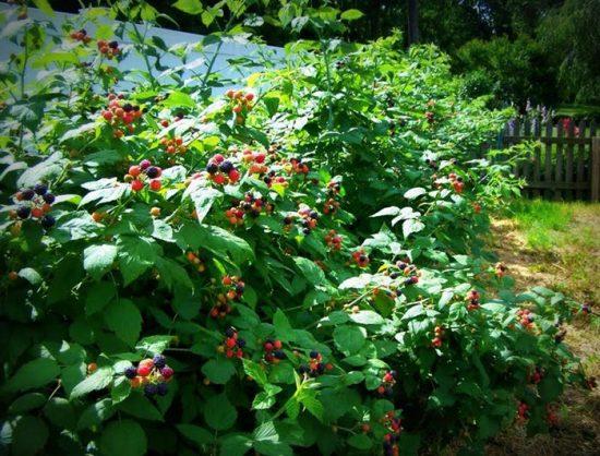 ягодные кустарники на даче