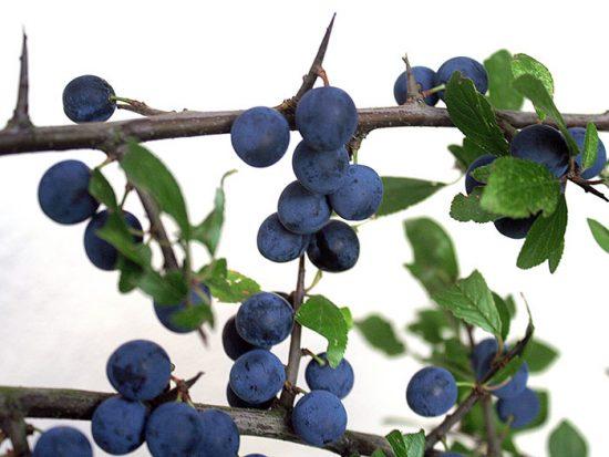 плоды терновника