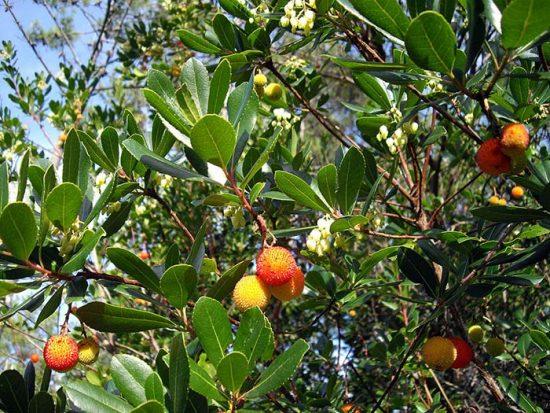 выращивание вечнозеленого дерева