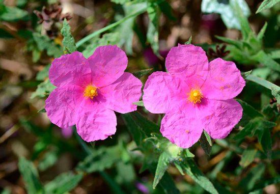 цветение ладанника