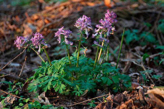 ранние цветущие растения