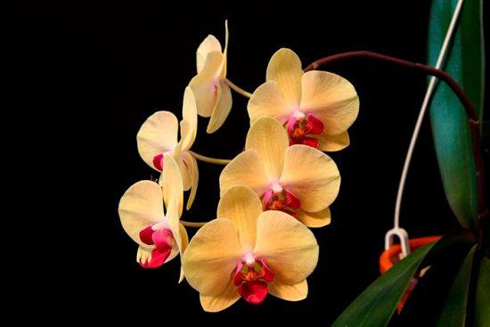 орхидея с желтыми цветами