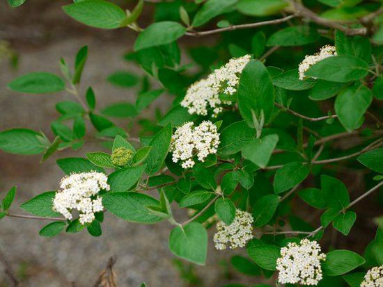цветение калины