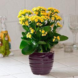желтые цветы для дома