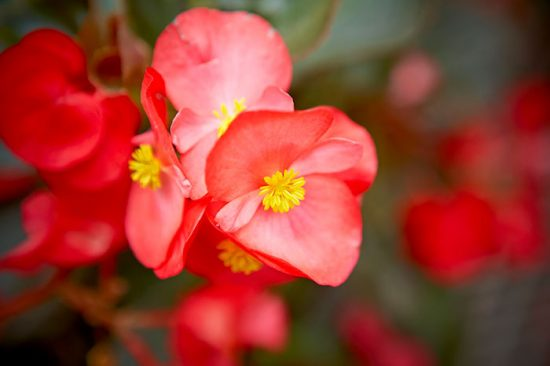 как цветет бегония