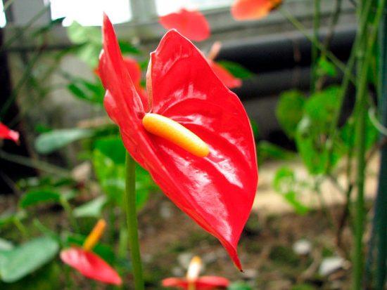 Антуриум как цветет