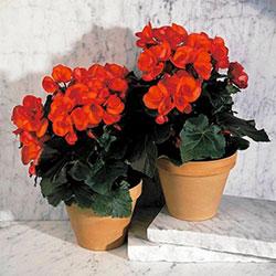 цветы с красными бутонами