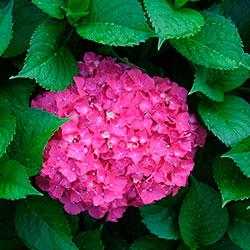 цветение гортензии
