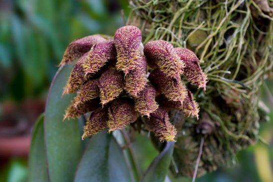 как выглядит Бульбофиллум фаленопсис