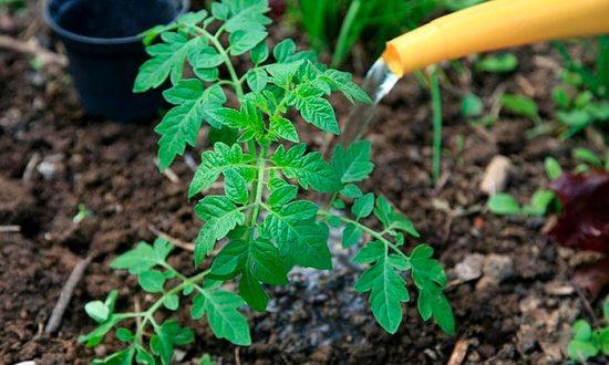 удобрение для томата