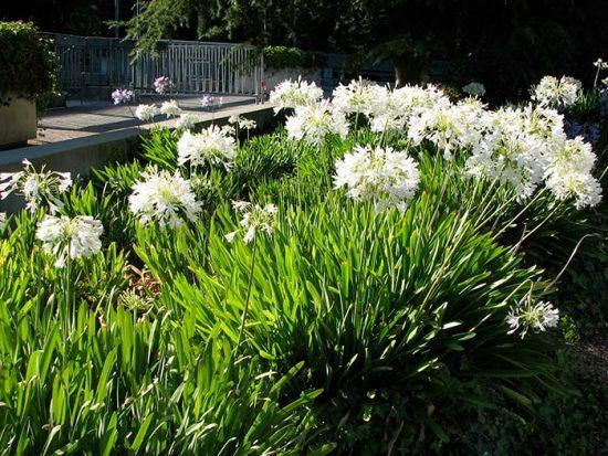 как посадить агапантус