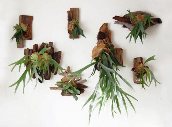 растение оленьи рога в интерьере