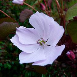 как цветет джефферсония