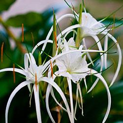 цветок исмена