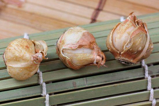 луковицы левкорины