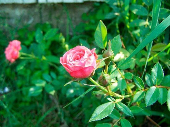 как удобрять розу