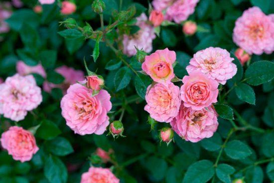 цветение карликовой розы