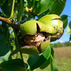 как выращивать грецкий орех
